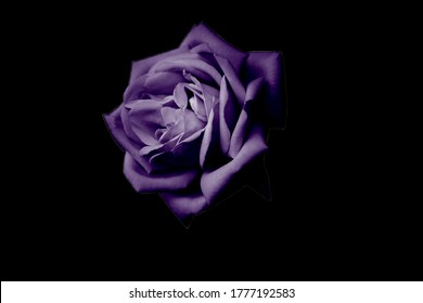 Purple rose on a black background amazing beautiful