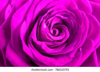 Purple rose petals as background