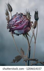 Purple rosebud, stem and flower on gray background.