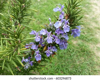 Purple Rosemary blossoms in an herb garden.