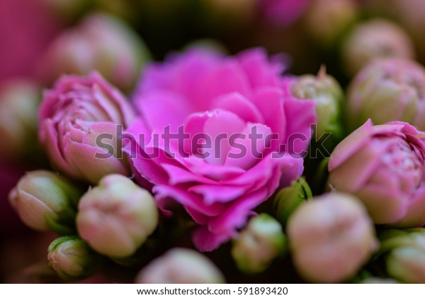 purple roses flower buds