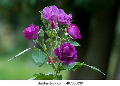 Purple roses in the garden.