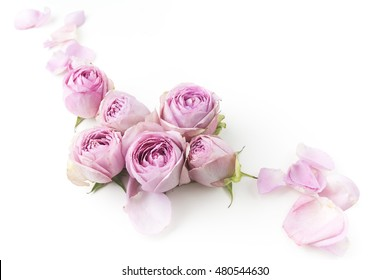 Purple roses on white background. Flat lay. Top view