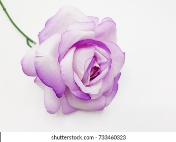 purple roses on white background