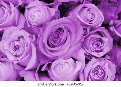 purple rose images stock photos vectors shutterstock