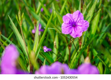 Purple Ruellia tuberosa flower. It is also known as minnieroot, fever root, snapdragon root, waterkanon, popping pod, duppy gun, cracker plant and sheep potato.
