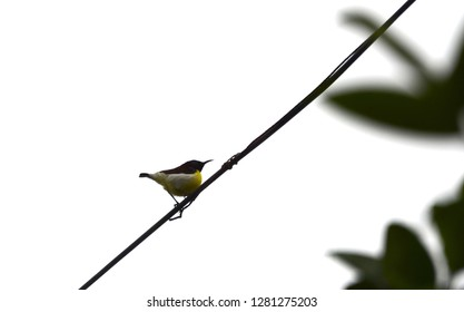 A purple rumped sunbird high up on a wire