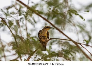 purple rumped sunbird sitting on the branches, abudhabi, uae
