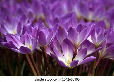 The purple Safron flower