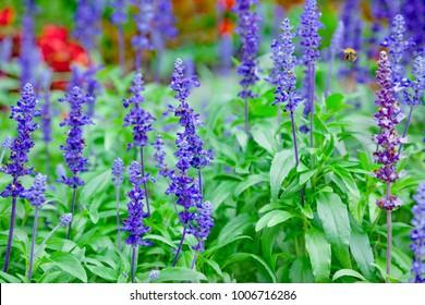 Purple sage flowers