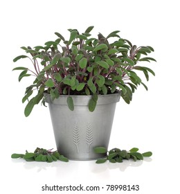 Purple sage herb plant in a pewter pot with leaf sprigs scattered isolated over white background. Salvia.