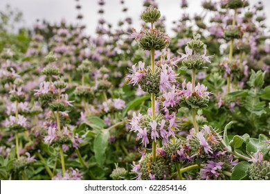 Purple sage (Salvia leucophylla) blooming in spring, California