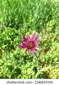 A purple salsify flower