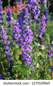 Purple Salvia Flower Field.