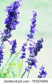 Purple salvia flowers at beautiful in garden