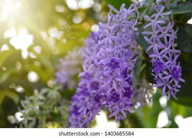Purple sandpaper vine flower with theirs tree in garden , Petrea volubilis Beautiful purple wreath vine or queen's wreath vine flower on blurred background. Selected focus. Copy space