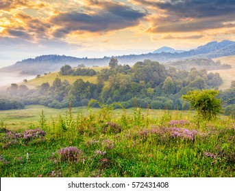 purple savory flowers among the grass on the hillside at foggy sunrise in mountains
