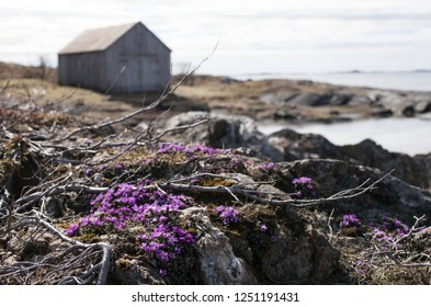 Purple saxifrage flowering at Norwegian coastal rocks, an old gray boathouse on the background. Focus on flowers
