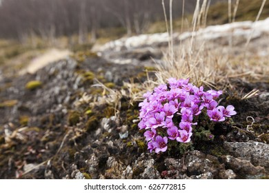 Purple saxifrage flowering at rocks in April  in Helgeland, Norway