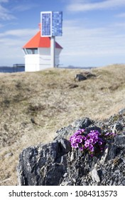 Purple saxifrage flowering at rocks on sunny day at early sprig in North-Norway. Small white lighthouse with solar panel at background.