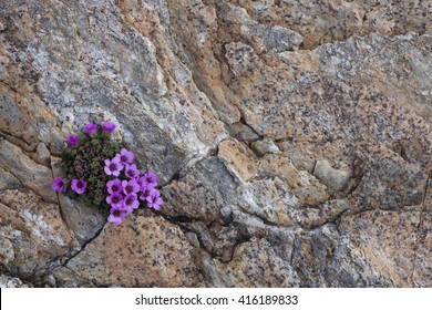 Purple saxifrage flowering in small crack at rock surface. Photographed in Helgeland, Nordland, Norway.