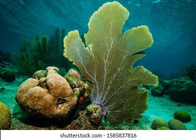 Purple sea fan on coral reef at Bonaire Island