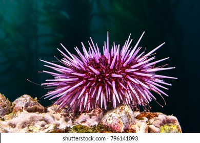 A purple sea urchin rests atop a reef hoping to find its favorite food, kelp.