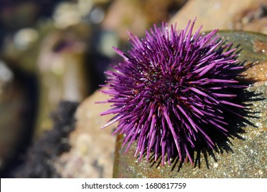 Purple sea urchin, Strongylocentrotus purpuratus, in rocky intertidal zone along the eastern edge of the Pacific Ocean from Mexico to Canada.