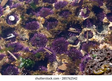 Purple sea urchins colonize naturally formed holes in tidepool rocks,  ( Strongylocentrotus purpuratus ),  Cobble Beach, Yaquina Head,  Oregon Coast