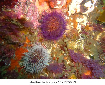 Purple sea urchins on rocks in the ocean. Makro of echinoderms. Marine life in coastal ecosystem during scuba diving adventure. Ecotourism, exploring with marine biologist underwater. Model organism.