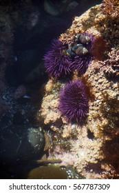Purple sea urchins in tidepool, ( Strongylocentrotus purpuratus ),  Cobble Beach, Yaquina Head,  Oregon Coast