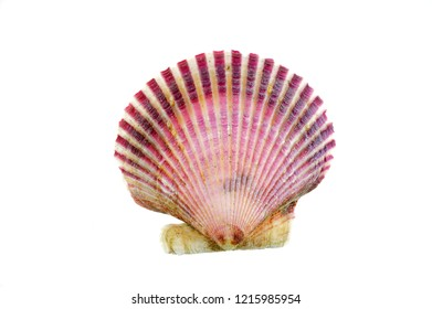 purple shells isolated on the white background