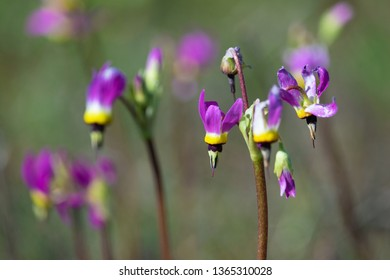 Purple shooting star flower in Santa Rosa Plateau Ecological Reserve, CA