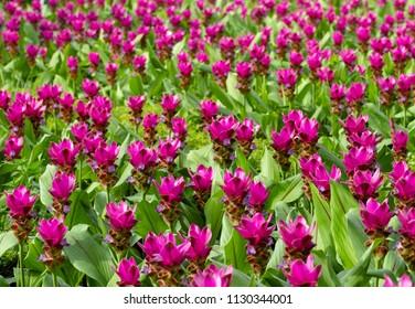 Purple Siam tulip field