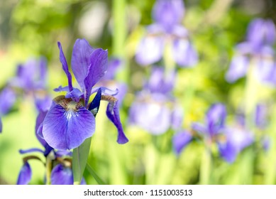 Purple siberian iris flower in front of flower field