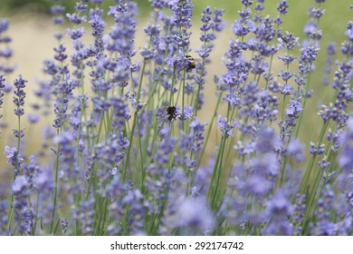 Purple small flowers of lavender on bluered background. Bumblebee collects nectar.