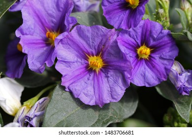 purple solanum flower in spring in Italy also called the blue potato bush or Paraguay nightshade toxic to humans but related to the potato, eggplant or aubergine and tomato