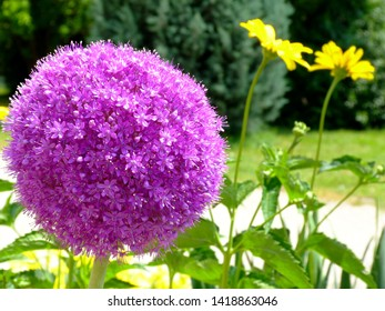 purple sphere shaped blooming Allium onion flower in foreground & blurry deep green evergreen in the background. selective focus. beauty in nature concept.