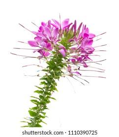 Purple spider flower isolated on white background