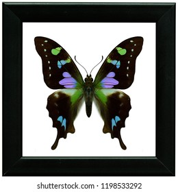 Purple spotted swallowtail (Graphium weiskei) most beautiful multiple colors pink purple and green blue butterfly in black frame collection
