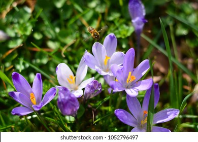 The purple of spring in bloom