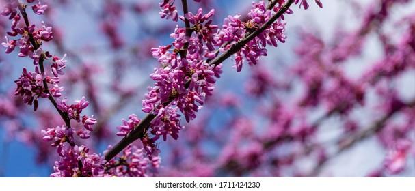 Violette Frühlingsblüte von Eastern Redbud, oder Eastern Redbud Cercis canadensis bei sonnigem Tag. Nahaufnahme von Judas-Baum-rosa Blumen. Selektiver Fokus. Naturkonzept für Design. Platz für Ihren Text