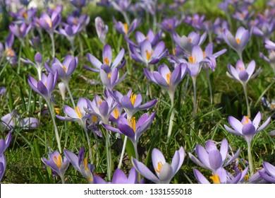 Purple spring crocus flowers in garden grass