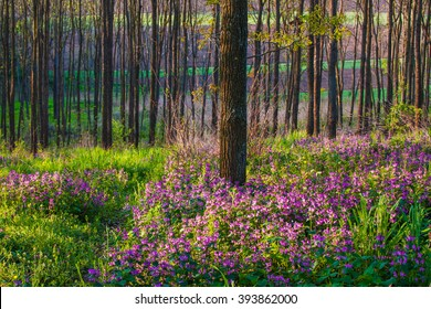 Purple spring flowers in a forest