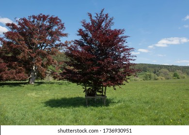 Purple Spring Leaves of a Beech Tree (Fagus sylvatica purpurea) Growing in a Field in a Countryside Landscape and a Bright Blue Sky Background in Rural Devon, England, UK