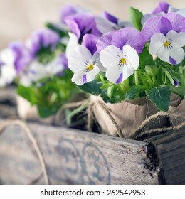 Purple spring violets in a wooden flower box for planting and gardening