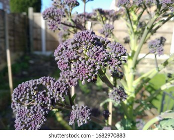 Purple sprouting broccoli growing on a sunny day