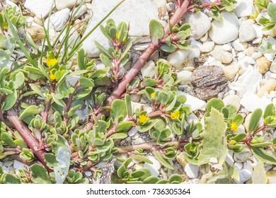 Purple spurge, Euphorbia peplis, growing on Coastal dunes of Arousa Island, Galicia, Spain