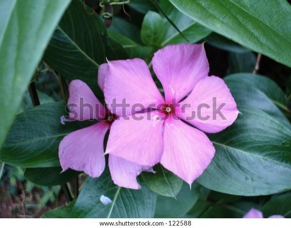 Purple star of bethlehem
