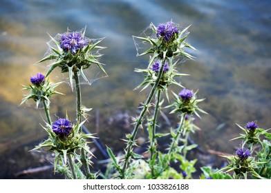 Purple Star Thistle Location